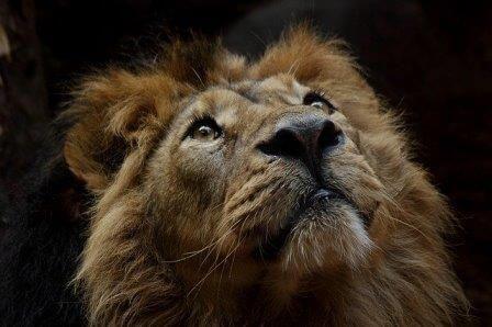 leon-con-vista-al-cielo-intuicion-fe